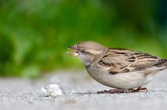 Sparrow with great bread-crumbs. Young sparrow, which has discovered a large bread chunk. It picks the chunk, green background Royalty Free Stock Photography