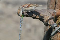 A sparrow greedily drinks water. From a large metal tap in hot weather stock photos
