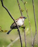 Sparrow on a green background. Sparrow on a green spring background Stock Photography