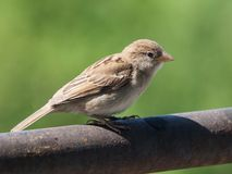Sparrow on green background Royalty Free Stock Photo