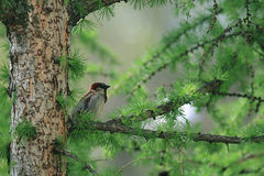 Sparrow on green branch Royalty Free Stock Photos
