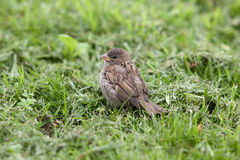 Sparrow in a green grass Royalty Free Stock Photo