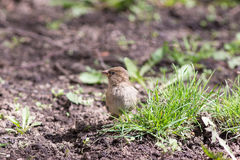Sparrow among green grass Royalty Free Stock Photos