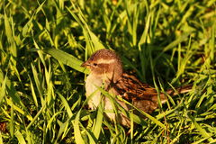 Sparrow in green grass Royalty Free Stock Image