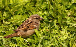 Sparrow in green grass Stock Images