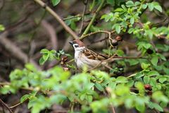 Sparrow. Sparrow in green nature. Sparrows on a branches. Male house sparrow or Passer domesticus is a bird of the sparrow family. Sparrow. Sparrow in green Royalty Free Stock Photography