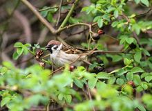 Sparrow. Sparrow in green nature. Sparrows on a branches. Male house sparrow or Passer domesticus is a bird of the sparrow family. Sparrow. Sparrow in green Stock Photos