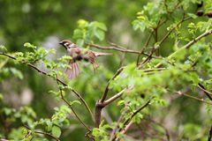 Sparrow. Sparrow in green nature. Sparrows on a branches. Male house sparrow or Passer domesticus is a bird of the sparrow family. Sparrow. Sparrow in green Stock Photography