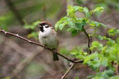 Sparrow. Sparrow in green nature. Sparrows on a branches. Male house sparrow or Passer domesticus is a bird of the sparrow family. Sparrow. Sparrow in green Stock Image