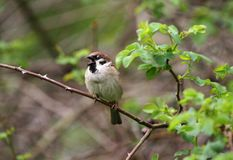 Sparrow. Sparrow in green nature. Sparrows on a branches. Male house sparrow or Passer domesticus is a bird of the sparrow family. Sparrow. Sparrow in green Stock Photo