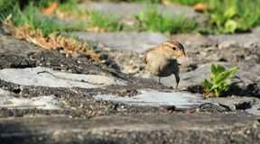 Sparrow on the ground Stock Image