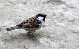 Sparrow on ground Stock Photography