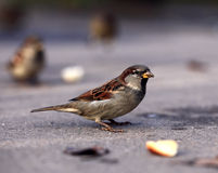 Sparrow on the ground Stock Photography