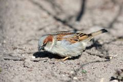 Sparrow on the ground Royalty Free Stock Photo