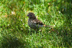 Sparrow. On the ground in the grass and flowers and sunlit surroundings Royalty Free Stock Photography