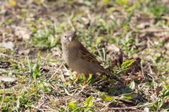 Sparrow on the ground Royalty Free Stock Image