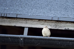 Sparrow on gutter Stock Photos