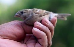 Sparrow on hand Stock Photos
