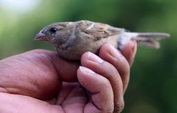 Sparrow on hand. With selective focus Stock Photos