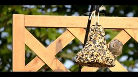 Sparrow on a hanging feeder Stock Photos