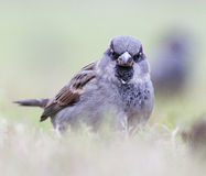 Sparrow. Hanging out in a grass Royalty Free Stock Images