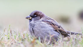 Sparrow. Hanging out in a grass Stock Photos