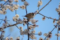 Sparrow happy spring royalty free stock images