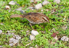 The sparrow has found something in the grass. The sparrow has found something interesting in the grass stock images