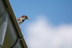 Sparrow  has prey in its beak Stock Photography