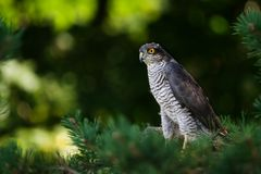 The sparrow hawk Stock Photo