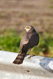 Sparrow hawk Stock Image