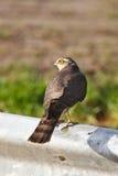 Sparrow hawk. A sparro hawk on a guardrail Stock Image