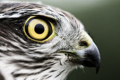 Sparrow-hawk Royalty Free Stock Photo
