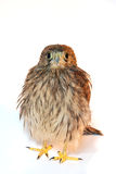 Sparrow hawk Royalty Free Stock Photo