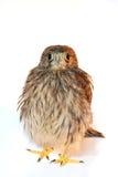 Sparrow hawk Royalty Free Stock Photo
