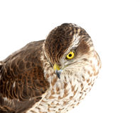 Sparrow-hawk. On white, looking down Royalty Free Stock Photo