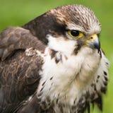 Sparrow hawk or American kestrel Royalty Free Stock Image