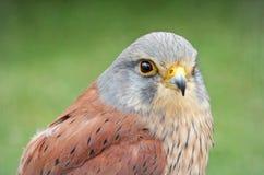 kestrel bird of prey stock photo