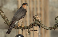 Sparrow hawk bird. Stock Image