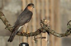 Sparrow hawk bird. Stock Image