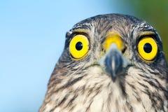 Sparrow-hawk Stock Photos