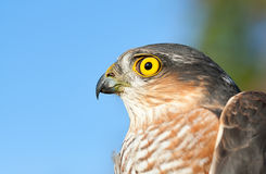 Sparrow-hawk Stock Photography
