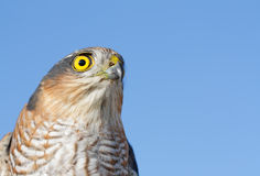 Sparrow-hawk Stock Photo