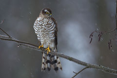 Sparrow hawk, female Stock Images