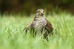 Sparrow hawk in grass Royalty Free Stock Image