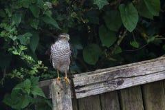 Sparrow hawk Stock Photo