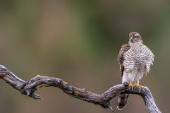 Sparrow Hawk sitting on curved branch Copy space left Royalty Free Stock Photography