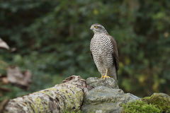 The sparrow-hawk Royalty Free Stock Images