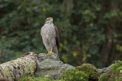 The sparrow-hawk. Sitting on a rock Stock Photography