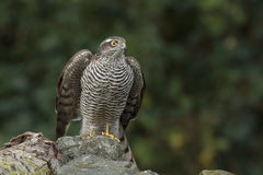 The sparrow-hawk Royalty Free Stock Image